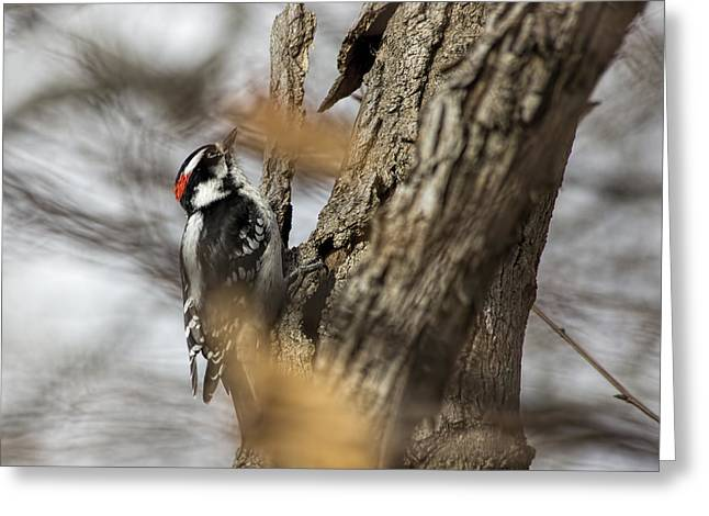 Downy Woodpecker On Billy Goat Trail Greeting Card