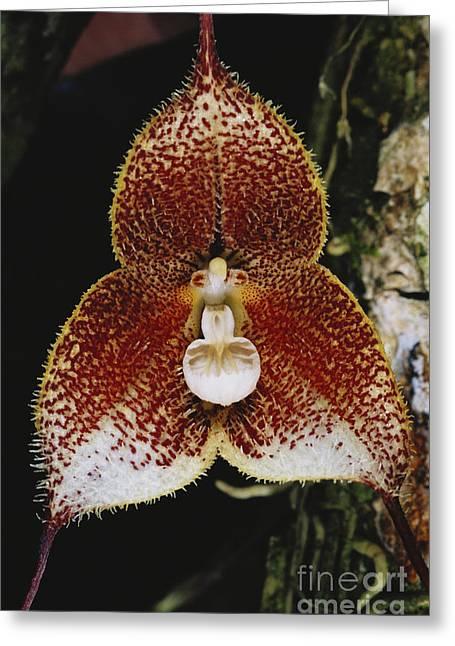 Dracula Orchid Greeting Card