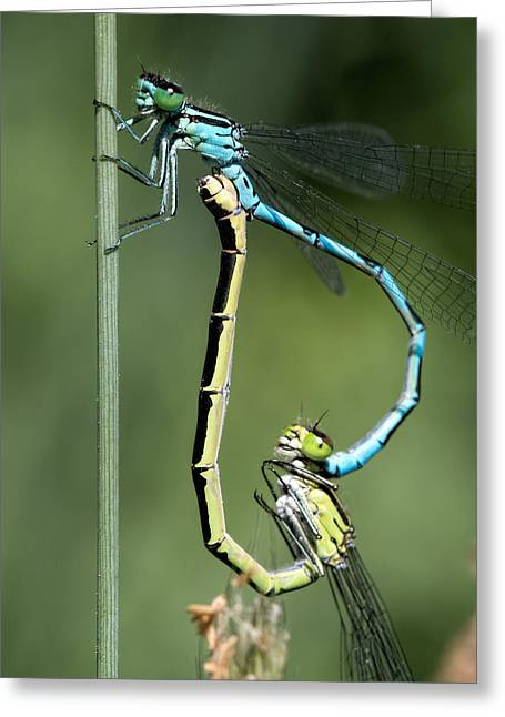 Dragon Fly Greeting Card by Leif Sohlman