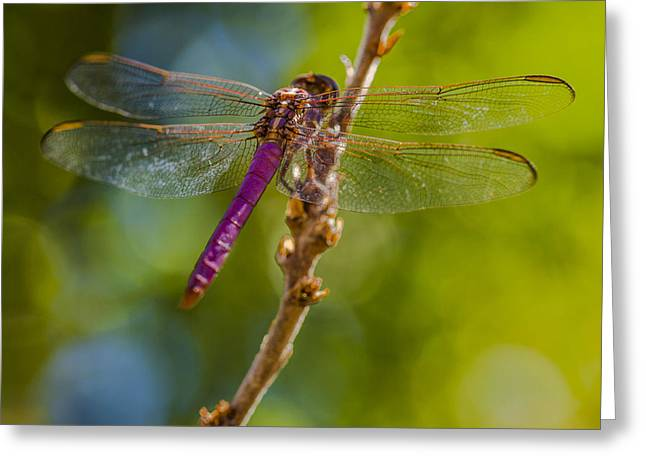 Dragon Fly Or Not Greeting Card by Scott Campbell