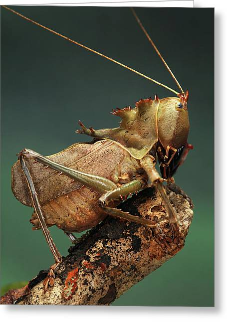 Dragon-headed Katydid Greeting Card