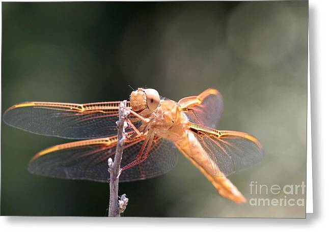 Dragon Fly Greeting Card by Laura Paine