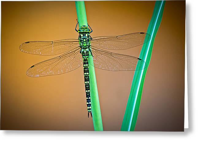 dragonfly Aeshna cyanea Greeting Card