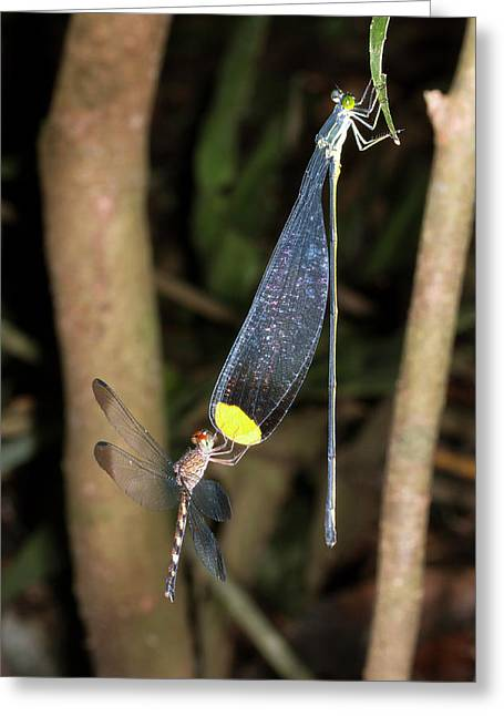 Dragonfly And Damselfly Roosting Greeting Card by Dr Morley Read
