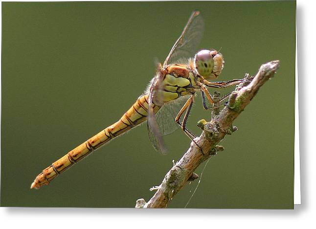 Dragonfly At Rest Greeting Card