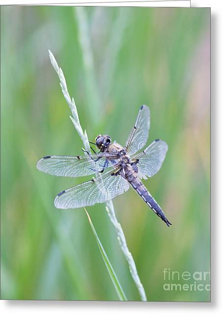 Dragonfly At Rest Greeting Card by Sheri Van Wert