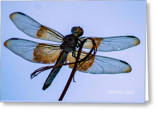 Dragonfly-blue Study Greeting Card