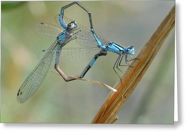 Dragonfly Courtship Greeting Card