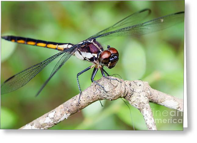 Dragonfly Greeting Card by Dawna  Moore Photography