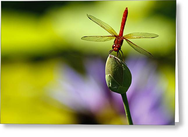 Dragonfly Display Greeting Card