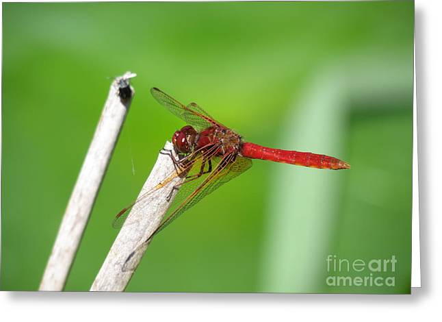 Dragonfly Greeting Card by Gayle Swigart