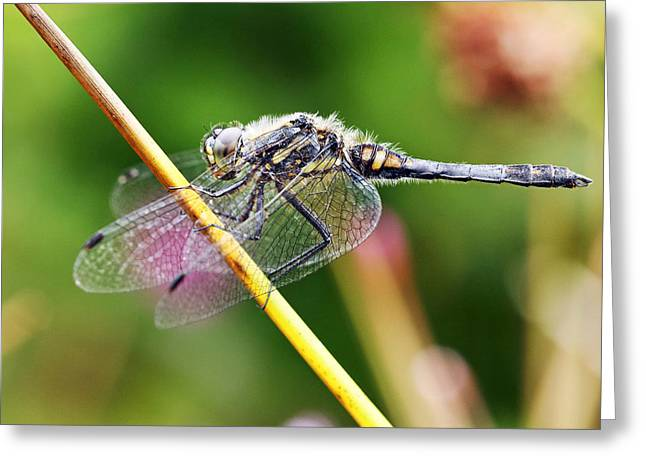 Dragonfly Greeting Card by Grant Glendinning
