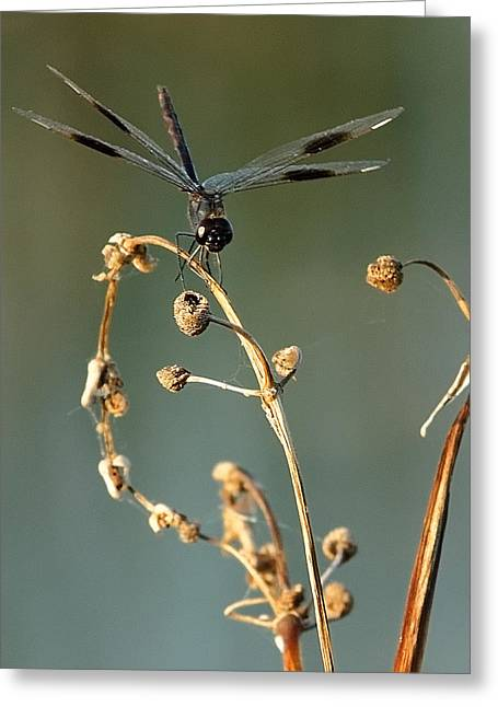 Greeting Card featuring the photograph Dragonfly I by Dawn Currie