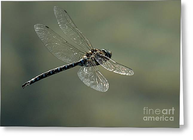 Dragonfly In Flight Greeting Card by Bob Christopher