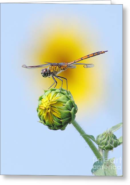 Dragonfly In Sunflowers Greeting Card
