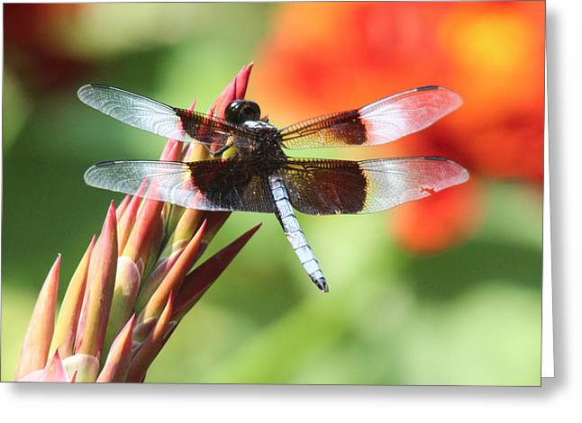 Dragonfly Greeting Card by Jill Bell