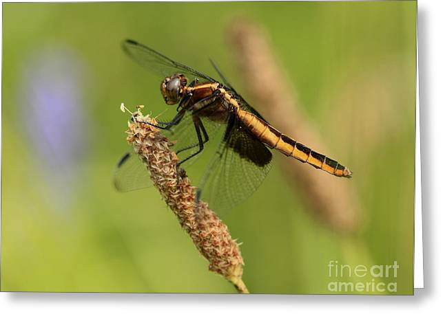 Dragonfly Lunch  Greeting Card by Inspired Nature Photography Fine Art Photography