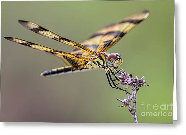 Greeting Card featuring the photograph The Halloween Pennant Dragonfly by Olga Hamilton