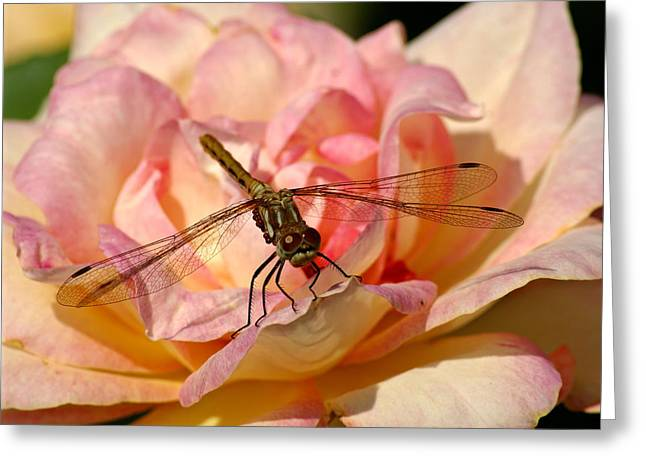 Dragonfly On A Rose Greeting Card