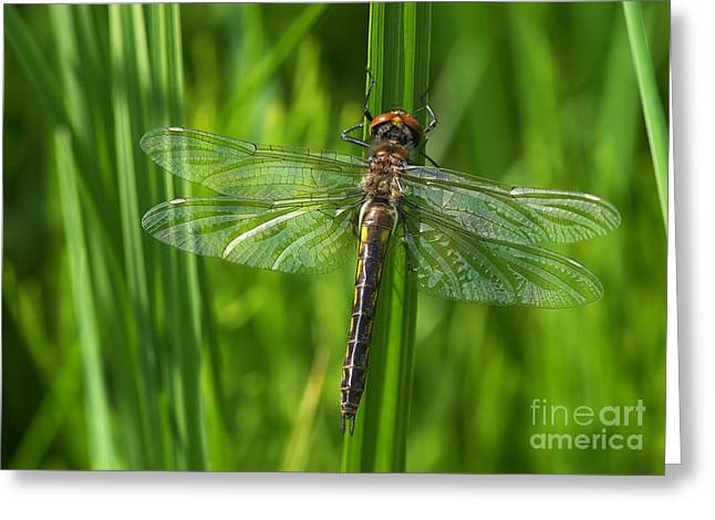 Dragonfly On Grass Greeting Card by Sharon Talson