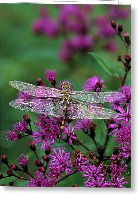 Dragonfly On Joe-pye Weed Greeting Card