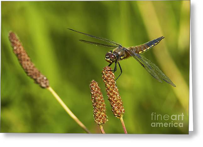 Dragonfly On Seed Pod 2 Greeting Card by Sharon Talson