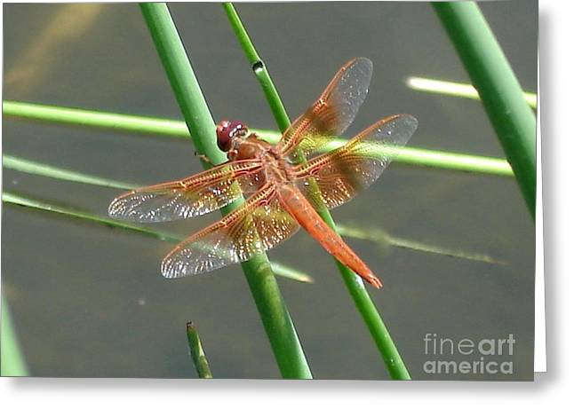 Greeting Card featuring the photograph Dragonfly Orange by Kerri Mortenson