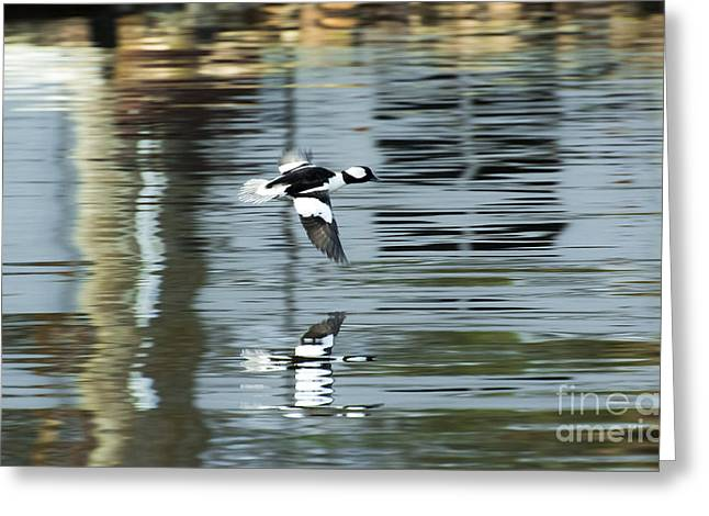 Drake Bufflehead Greeting Card