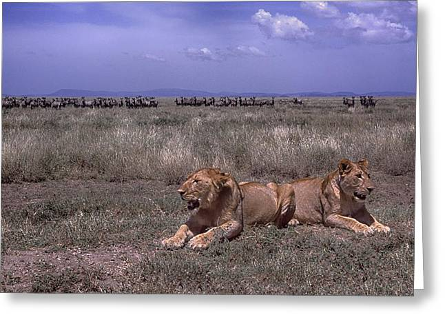 Greeting Card featuring the photograph Drama On The Serengeti by Gary Hall