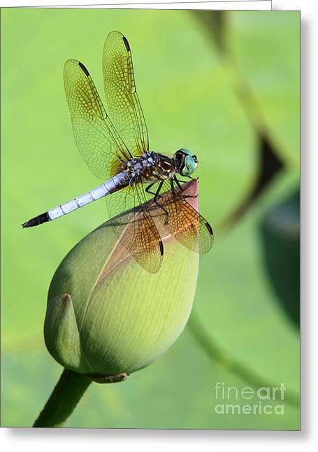 Dramatic Dragonfly Greeting Card by Sabrina L Ryan