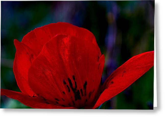 Dramatic Poppie Greeting Card