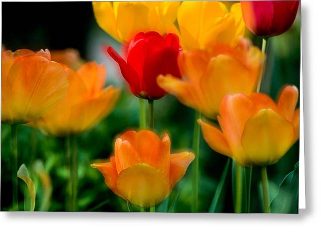 Dream Tulips Greeting Card