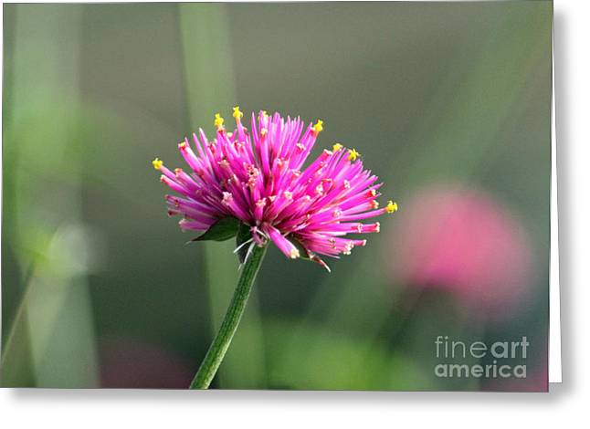 Dreaming In Fuschia II Greeting Card by Suzanne Gaff