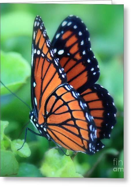 Dreamy Monarch Butterfly Greeting Card by Carol Groenen