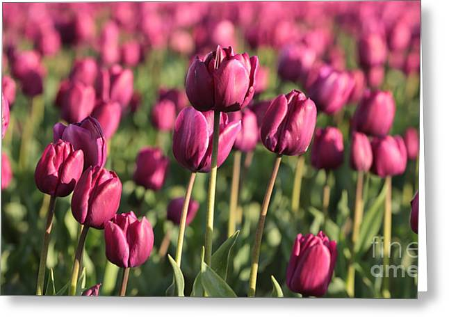 Dreamy Purple Tulips Greeting Card