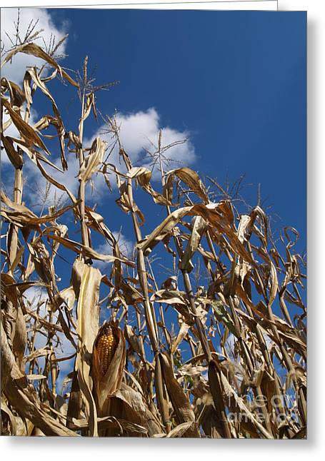 Dried Field Corn In Kutztown Pa Greeting Card by Anna Lisa Yoder