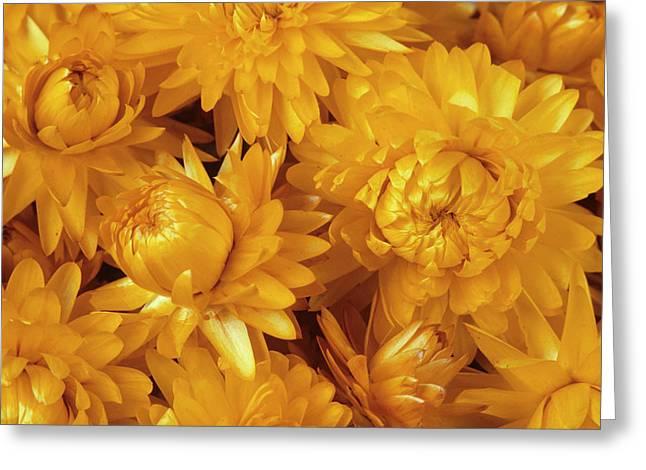 Dried Straw Flowers (helichrysum Sp.) Greeting Card