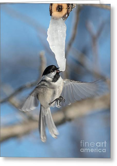 Drinking In Flight Greeting Card by Cheryl Baxter