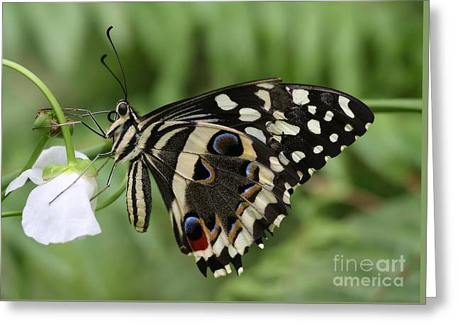 Greeting Card featuring the photograph Drinks With A Giant  Swallowtail by Ruth Jolly