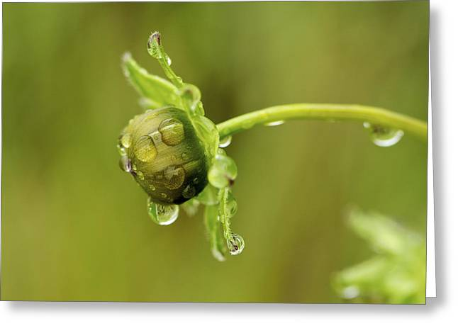 Drip Drip - Raindrops On Coreopsis  Greeting Card
