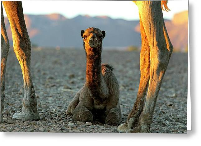Dromedary Camel Calf Greeting Card by Martin Rietze