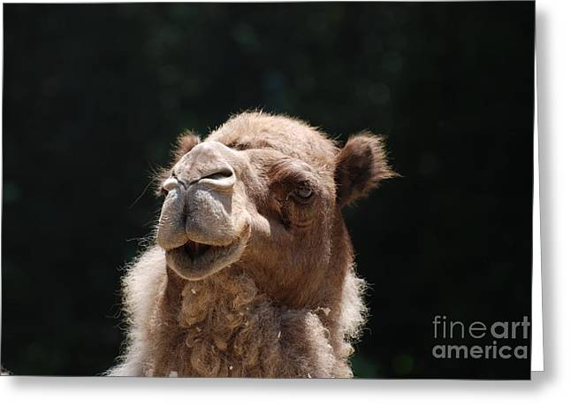 Dromedary Camel Face Greeting Card
