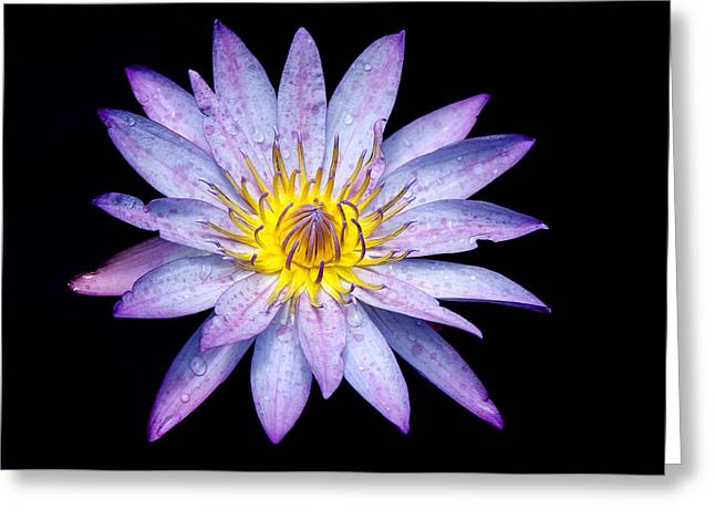 Droplets On A Water Lily. Greeting Card