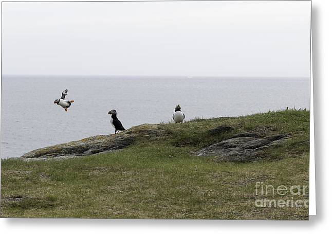 Druken Puffin Greeting Card by Jim  Hatch