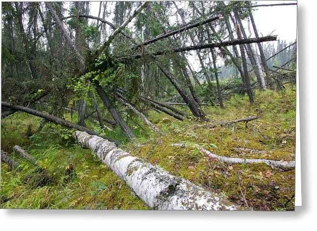 Drunken Forest In Fairbanks Alaska Greeting Card