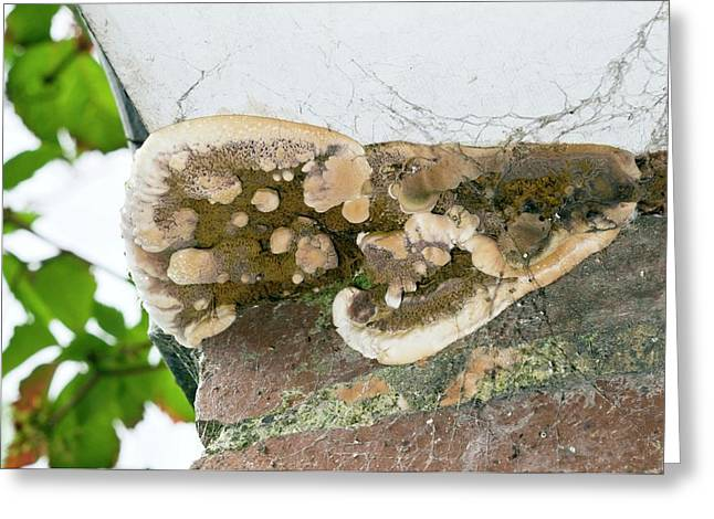 Dry Rot Fungus Greeting Card