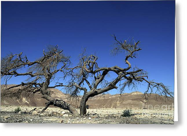 Dry Solitary Tree  Greeting Card by Efi Bar