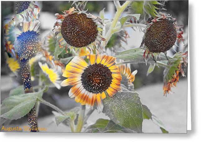 Dry Sunflowers Greeting Card by Augusta Stylianou