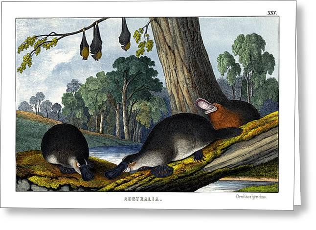 Duck-billed Platypus Greeting Card by Splendid Art Prints