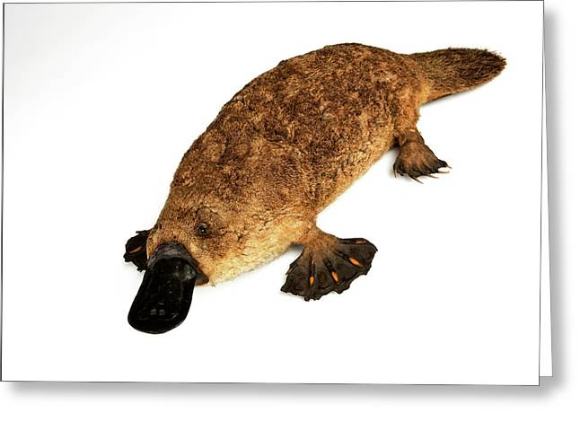 Duck-billed Platypus Greeting Card by Ucl, Grant Museum Of Zoology